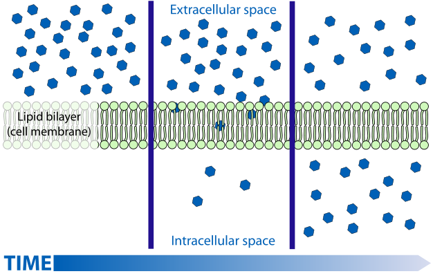 The structure of plasma membranes enables control of the passage ...