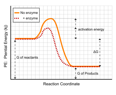 how do enzymes lower activation energy a level biology